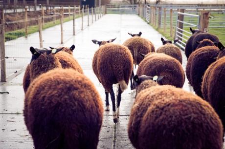 schapen.jpg