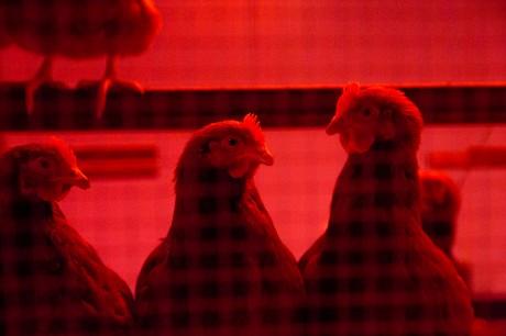 kippen.jpg